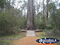 King Jarrah in Manjimup . . . CLICK TO ENLARGE