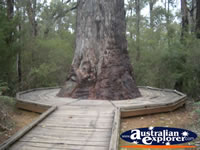 Manjimup King Jarrah . . . CLICK TO ENLARGE