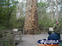 Gloucester National Park - Gloucester Tree.