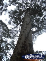 Gloucester Tree in Pemberton  . . . CLICK TO ENLARGE