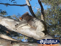 Koala on Branch at Yanchep National Park Boardwalk . . . CLICK TO ENLARGE