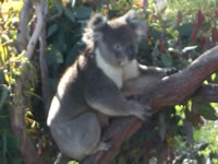 Koala in Tree at Yanchep National Park Boardwalk . . . CLICK TO ENLARGE