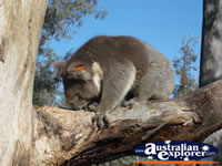 Koala at Yanchep National Park Boardwalk . . . CLICK TO ENLARGE