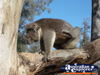 Yanchep National Park Koala Boardwalk . . . CLICK TO ENLARGE