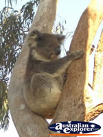 Koala Boardwalk in Yanchep National Park . . . CLICK TO ENLARGE