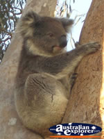 Koala in Tree at Yanchep National Park Koala Boardwalk . . . CLICK TO ENLARGE