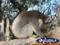 Hungry Koala at Yanchep National Park Koala Boardwalk . . . CLICK TO ENLARGE